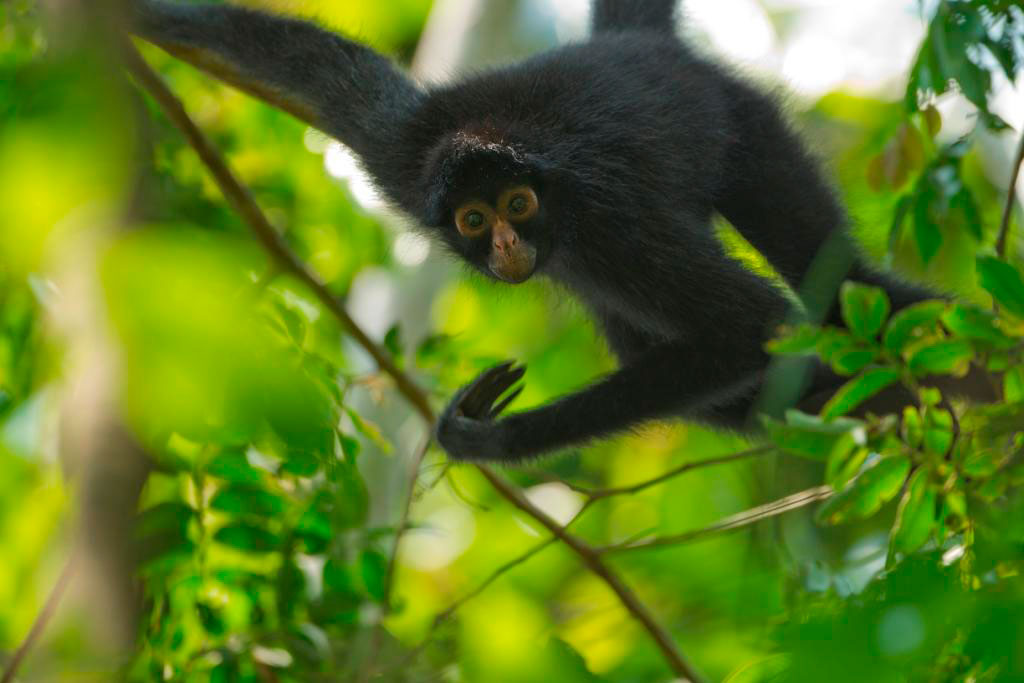Mono-araña-Spanowicz-biodiversidadDGBAP