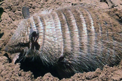 quirquincho-biodiversidadDGBAP